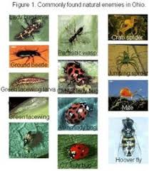 Beneficial Insects Chart 34 Best Beneficial Insects Images Beneficial Insects