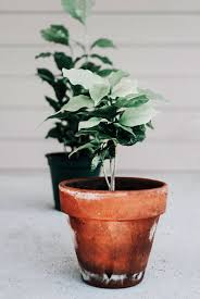 Arrives in a nursery grow pot nestled inside our ceramic planter. Coffee Tree Coffea Arabica Houseplant Academy Houseplant Courses And Education For The Indoor Plant Person