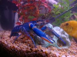 Mario Brothers Aquarium Decorations Blue Lobster You Can Keep These In A Fresh Water Aquarium I
