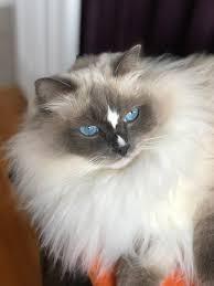 Ragdoll Cat Personality What Traits Temperament Describe