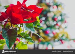 Weihnachtsstern Pflanze Mit Weihnachtsbaum Im Hintergrund