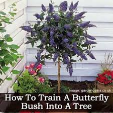 how to train a erfly bush tree