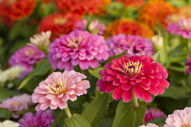 Flower Seed Germination Time Chart How To Grow Beautiful Zinnia Flowers Harvesting And