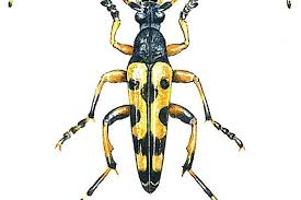 Black Beetle Identification Chart How To Identify Longhorn Beetles Discover Wildlife