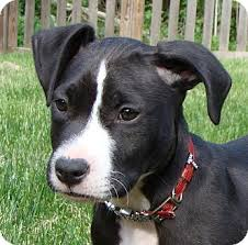 terrier pitbull mix puppies. Simple Terrier With Terrier Pitbull Mix Puppies