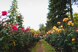 your essential guide to the portland rose test garden portland oregon has the ideal climate