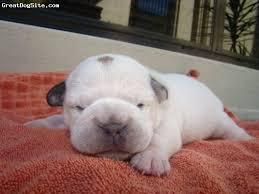 miniature australian bulldog 9 days white this is our new little mini aussie