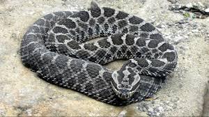 Black Snake With Diamond Pattern Amazing Inspiration Ideas