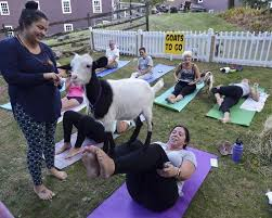 goat yoga brings smiles raises money for mspca
