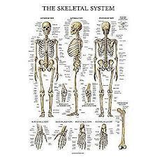 Human Bone Chart Laminated Skeletal System Poster Human Skeleton Chart 18