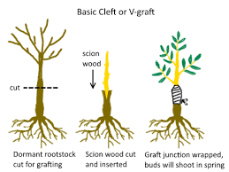 The Difference Between Seedling Grafted And Cutting Grown