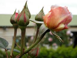 Paper Flower Lyrics Buy Original Essays Online Buy My Roses Paper Roses Lyrics