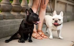 French Bulldog Craze Is Producing Seriously Ill Puppies