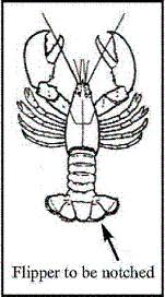 Lobster Guide Science And Research Species Information