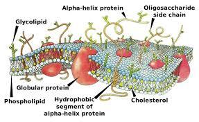 plasma membrane functions components