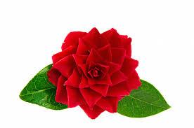 תוצאת תמונה עבור flower