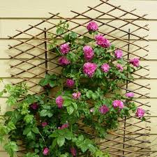 38 Best Plants For My House  S Images On Pinterest  Gardening Wall Climbing Plants India