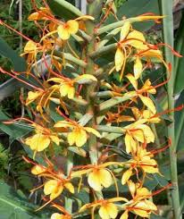 Planta de ghimbir