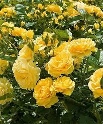planting roses garden care rose