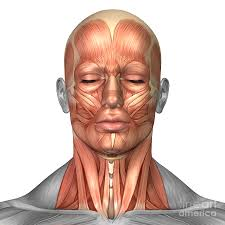 face anatomy anatomy of human face and neck muscles digital art by stocktrek images