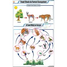 chain charts food chain in forest ecosystem chart 58x90cm