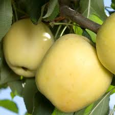 Ruby Supreme Guava Tree For Sale  Fast Growing TreesHybrid Fruit Trees For Sale