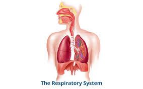 Respiratory System Flow Chart Respiratory System Flowchart By Baylee Hennigar On Prezi