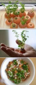 Kitchen Scrap Gardening 17 Best Ideas About Regrow Vegetables On Pinterest Plants You