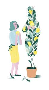 my life marilyn the family lemon tree saveur lemon tree