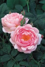 Rose U0027Boscobelu0027 AuscousinFragrant Rose Plants