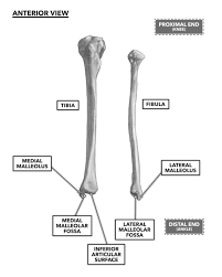 Crossfit Bones Of The Foot And Ankle