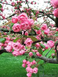 flower tree pictures. Unique Flower Make Your Yard Look Vibrant And Full Of Color By Adding A Crabapple Tree To  Landscape These Trees Are Great For Summer Springtime On Flower Tree Pictures F
