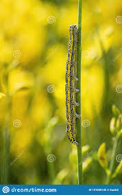 Yellow Caterpillar Identification Chart Caterpillar Of Apopestes Spectrum Moth Mediterranean