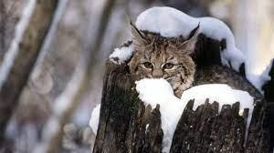 Free download Winter Cats Wallpaper ...