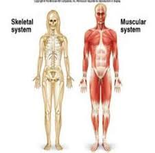 human skeletal and muscular systems