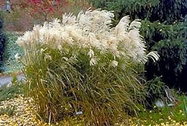 Small Picture Ornamental grasses for Minnesota Yard and Garden Garden