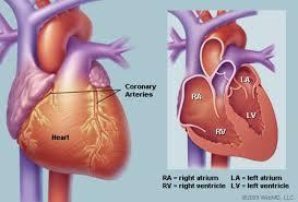 Cardiac Anatomy Chart Human Heart Anatomy Diagram Function Chambers Location