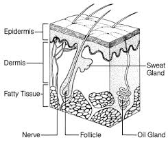 Skin diagram worksh on skin structure images geoface 463de9e5578e label the skin anatomy diagram skin diagram worksh on skin structure images at skin