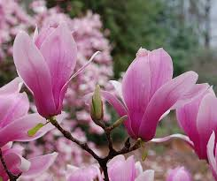 Image result for tulip magnolia trees