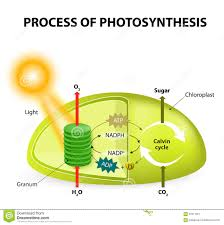 Light Cycle Photosynthesis Photosynthesis Stock Vector Illustration Of Oxygen Light