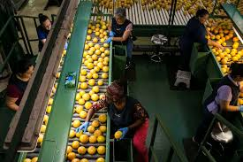 employees monitor the gfruit ng process at the premier citrus packers facility in vero beach florida on oct 15 2016