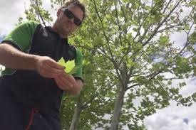 London plane trees gain bad reputation among Perth allergy sufferers ...