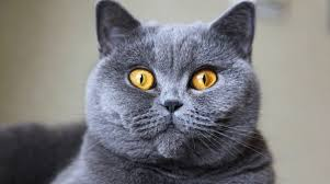 5 things to know about british shorthairs