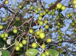 Jimbelin Treewant To Try Making The Jamaican Drink Mixed With Jamaican Fruit Trees