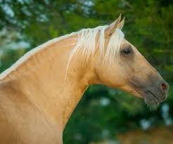 golden horses 9 breeds with amazing