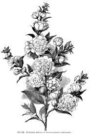 Flowering Branch Engraving Vintage Floral Illustration Plum Tree