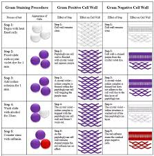 What Purpose Does Gram Staining Serve Quora