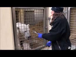 Training Tuesdays - Polar <b>Bear</b> Open <b>Mouth</b> - YouTube