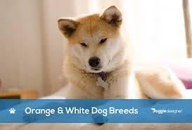 18 orange white dog breeds with