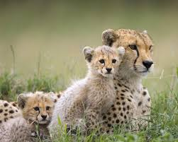 beautiful wild animals wallpapers. Simple Wild Beautiful Wild Animals Desktop Wallpapers Photography Latest Cool 2012  2013 Intended Animals Wallpapers